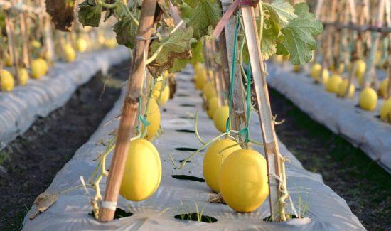 Anbau von Honigmelonen