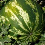 Melone im Garten